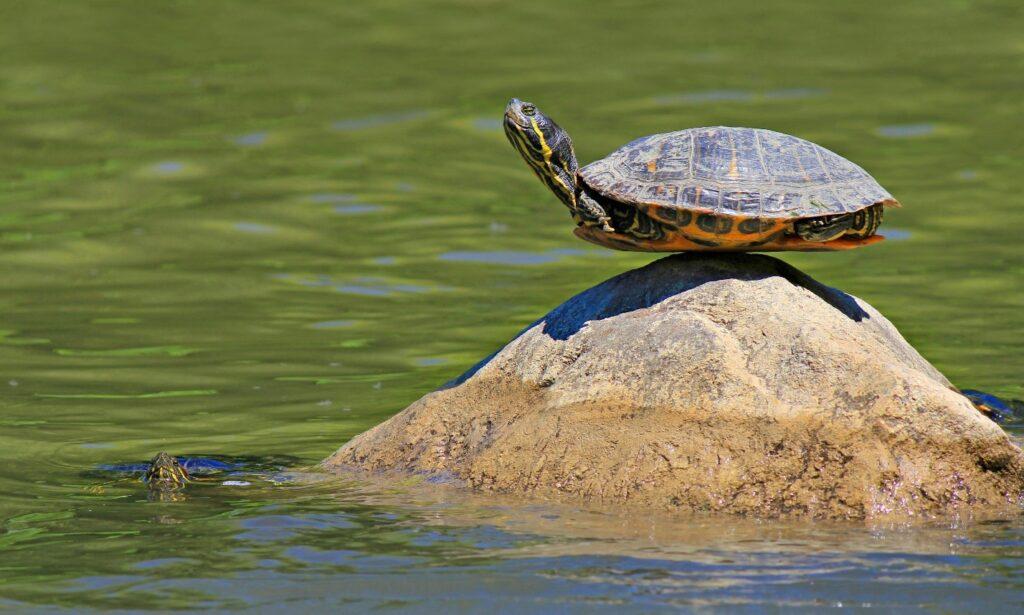 Turtle sitting on a rock.